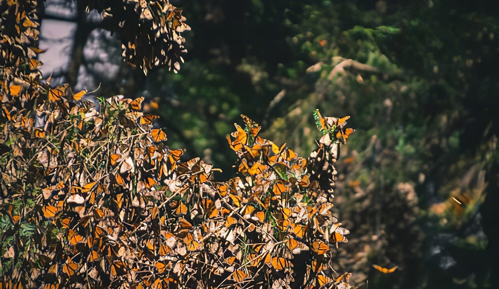 A visit to Monarch Butterfly Grove [Things to do in Pismo Beach]